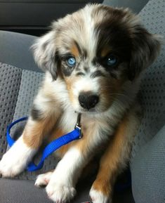 """Goberian"" - Golden Retriever/Siberian Husky"