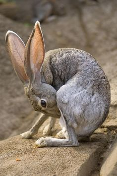 Black-tailed Jack Rabbit grooming.