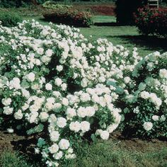 White Meidiland® Groundcover Rose - starting in late spring and repeats until frost. Glossy, deep green leaves cover the rapidly spreading canes, which can reach five feet long. Makes a beautiful blooming border, a low hedge along property lines, and a great cover-up for views that are best hidden. It's also one of the best for containers, cascading down over the sides. Rosa 'MEIcoublan' Light: Full Sun to Partial Shade - Bloom Time: Summer - Size: Bareroot - Zones: 3 to 9 - Height: 24""