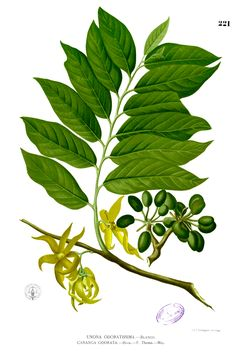 L'huile essentielle d'Ylang Ylang : propriétés et utilisation sans danger (Cananga odorata)