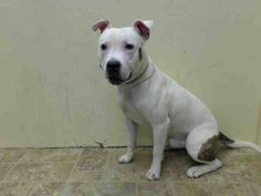 Brooklyn Center MACHO - A1011541 MALE, WHITE / BR BRINDLE, PIT BULL MIX, 1 yr, 4 mos OWNER SUR - EVALUATE, NO HOLD Reason LLORDPRIVA Intake condition EXAM REQ Intake Date 08/22/2014, From NY 11691, DueOut Date 08/22/2014 https://www.facebook.com/Urgentdeathrowdogs/photos/pb.152876678058553.-2207520000.1408914211./859384180741129/?type=3&theater