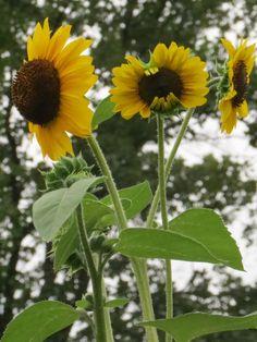 sunflower x 3