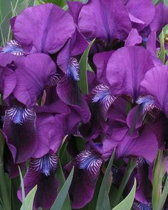 Purple Iris with a touch of Blue - 'Eleanor Roosevelt'