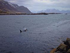 5-5-2016, Orcas visited Nyksund, Norway last night. Photos by Anders Megafon Frantzen.