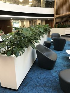 The Monstera deliciousa, more commonly known as the delicious monster, is becoming more and more popular in the corporate environment.