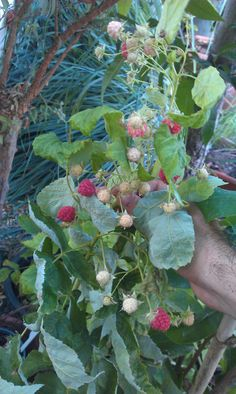Red raspberry fruits - How to grow Red raspberry plant, growing Red raspberry fruit in your garden | Grow Plants http://www.growplants.org/growing/red-raspberry