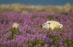 Peek-a-boo! One majestic bear is spotted peeking his head - and paw - above the flowers as he lounges on his back