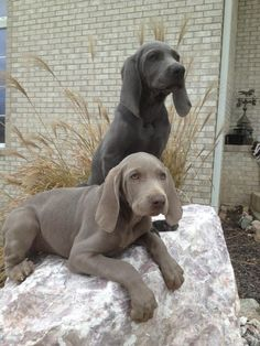 The beauty of Weimaraners! I want one of each!