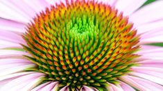 Echinacea purpurea Fruit, Plants, Purple, Beautiful Flowers, Plant, Planets
