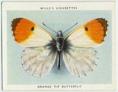 Orange tip butterfly.