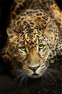 Cats Digital Art - Cheetaro by Big Cat Rescue