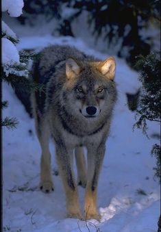 Only the ears glow 🌄 Arktischer Wolf, Wolf Husky, Wolf Howling, Lone Wolf, Wolf Pup, Beautiful Wolves, Animals Beautiful, Cute Animals, Wolf Images