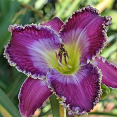 COTTAGE GARDENS... the daylilies of Brent Ross