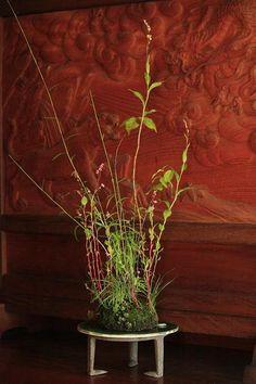 Japanese yoseue moss plant