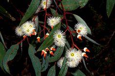 photo of eucalyptus marginata