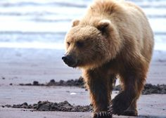 Google Image Result for http://intelligenttravel.nationalgeographic.com/files/2011/12/Alaska-Bear-590x421.jpg
