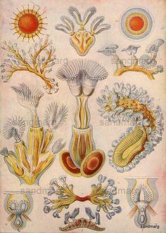 1898 Polyzoa or Bryozoa Aquatic Marine Life Chart by sandmarg, $17.99