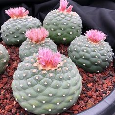 Texas Peyote Cactus (Lophophora williamsii) a spineless button like Cactus native to Texas, found from Presidio along the Rio Grande River to Starr Co. Cacti And Succulents, Planting Succulents, Cactus Plants, Planting Flowers, Agaves, Cactus Pictures, Plantas Bonsai, Veggie Gardens, Container Gardening