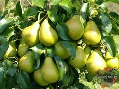 5 способов заставить грушу плодоносить быстрее 1. Копайте большие ямы Оптимальный размер: диаметр 80 см, глубина 50 см. Хотя может показаться, куд... - Сад огород - Google+