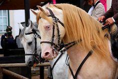 Onde o cavalo lusitano é figura principal, a Feira do Cavalo da Golegã http://www.portugalnummapa.com/feira-cavalo-da-golega/