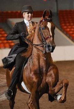 This is why I love the American Saddlebred y'all