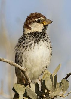 Spanish Sparrow Passer hispaniolensis