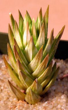 Haworthia glauca var. herrei (fm armstrongii) 3-inch pots