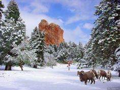 GREAT photo of Bighorn sheep in Colorado Springs, Garden of the Gods
