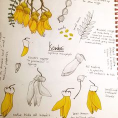 Doing some #sketching and research for an upcoming @spoonflower fabric design contest ... Nice to do some #drawing again 😊 #spoonflower #design #kowhai #fabric8contest #botanicalillustration #botanicalsketchbook #nznative #yellow