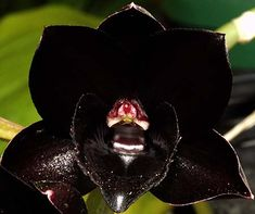 Sunset Valley Orchids - Superior Hybrids for Orchid Enthusiasts - Fredclarkeara After Dark 'SVO Black Pearl'