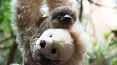 Hello, Edward! | This Orphaned Baby Sloth Has To Have His Teddy Bear