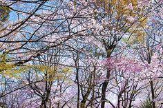 沢山の枝に色がつき始める春