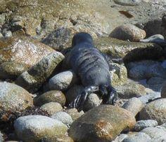 Newly born harbor seal