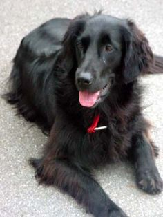 Flat-coated Retriever- Honestly the most amazing dogs ever! This one looks EXACTLY like Enzo. Flat Coated Retriever, Cute Puppies, Dogs And Puppies, Cute Dogs, Doggies, Snoopy, Retriever Puppy, Beautiful Dogs, Amazing Dogs