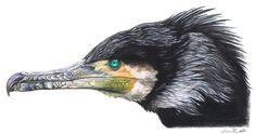 Phalacrocorax carbo by harpyja.deviantart.com on @DeviantArt