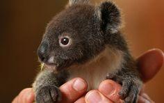 Archer a 8 anos de idade mês coala é visto aconchegar em uma saborosa em Featherdale Wildlife Park, na Austrália