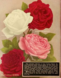 """Image from page 51 of """"Dingee guide to rose culture : 1917"""" (1917)   Flickr - Photo Sharing!"""