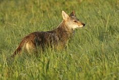A coyote spotted in a field at Cades Cove Grand Teton National, Yellowstone National Park, National Parks, Alaska Travel, Alaska Cruise, New Mexico Camping, Viewing Wildlife, Tennessee Vacation, Cades Cove