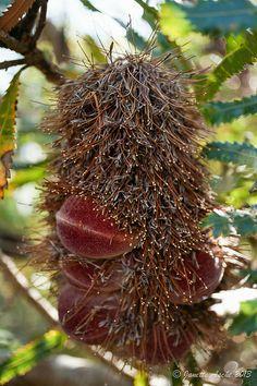 The spent flower of a common coastal tree in Australia, Banksia Serrata. Setting seed.