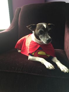 Super Sonic Rat Terrier
