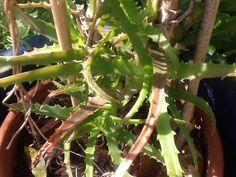 Aloe arborescens Reconnu pour ses propriétés anticancéreuses. Un feuille branche de temps en temps.