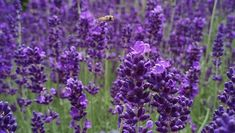 12 plants that repel unwanted insects. These herbs and flowers can shoo pests from your garden and skin. Whether you need extra protection for your garden or your skin, these herbs and flowers make great insect repellent. Lavender Fields, Lavender Flowers, Purple Flowers, Lavender Plants, Lavender Oil, Organic Farming, Organic Gardening, Gardening Tips, Provence