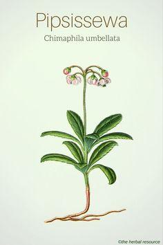 Pipsissewa (Chimaphila umbellata) - Illustration ©the herbal resource