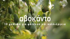 🥑 Αβοκάντο, το δέντρο με τους πεντανόστιμους καρπούς που κάθε χρόνο κερδίζει περισσότερους φανατικούς θαυμαστές! Στο σημερινό βίντεο μιλάμε για την καλλιέργεια του αβοκάντο, από την επιλογή ποικιλίας και τη φύτευση, μέχρι τη λίπανση και την προστασία από ασθένειες για να έχουμε πλούσια παραγωγή από νόστιμα και ποιοτικά αβοκάντο.
