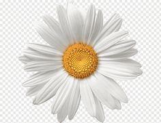 Daisy Flower Drawing, Daisy Art, Flower Art, White Flower Png, Yellow Daisy Flower, Gerbera, White Flowering Plants, Skeleton Flower, Flower Png Images