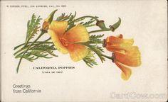 California Poppies Flowers