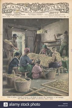 Sorting Silk Cocoons Stock Photo