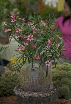 2010 Intercity Show: Adenium | Explore Cactus and Succulent … | Flickr - Photo Sharing!