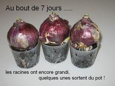 Ecole d'Albert de Rions - Saint Auban sur l'Ouvèze - Faire pousser des bulbes de jacinthes