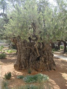 Garden of Gethsemane...how awesome it would be to walk here....